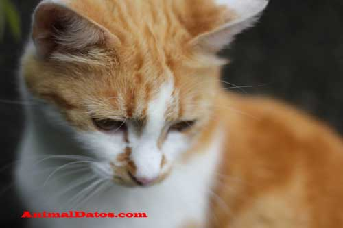 De que se enferman los gatos