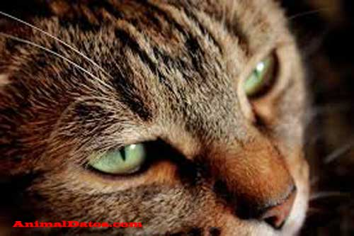 Enfermedades más comunes en los gatos