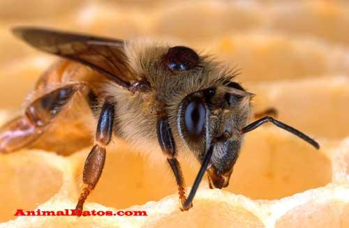 porque las abejas mueren al picar