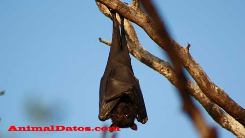 Porque los murciélagos son los únicos mamíferos que vuelan