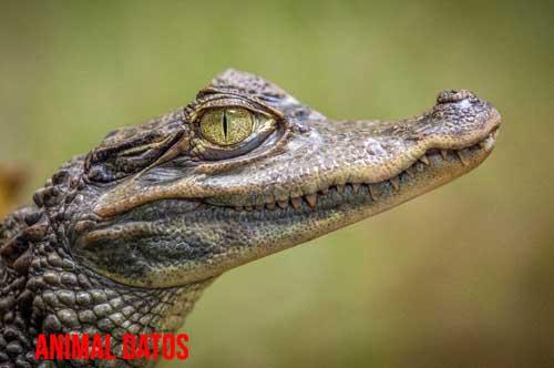 Puedo tener un cocodrilo en casa