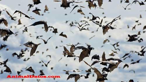 explicación del vuelo del murciélago