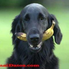 los perros pueden comer fruta