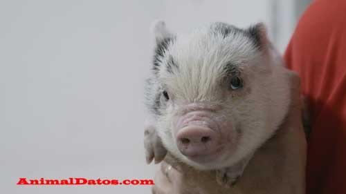riesgos y problemas de tener un mini pig
