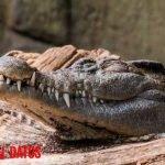 ¿Puedo tener un cocodrilo en casa o es peligroso?