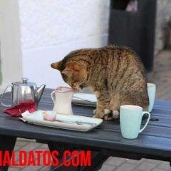 Como evitar que mi gato se suba a la mesa