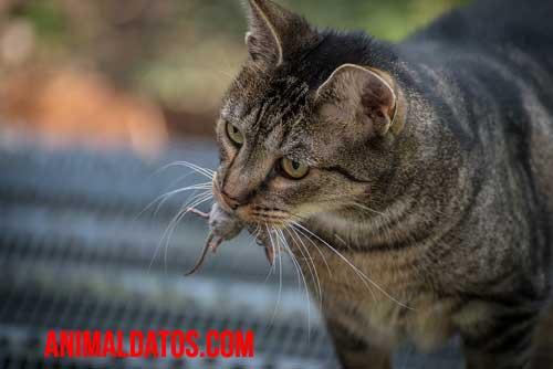 Como hacer que mi gato no traiga ratones