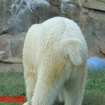 Conoce porque los osos polares tienen la corta cola