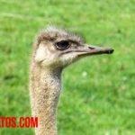 La teoría más aceptada de porque las avestruces no vuelan