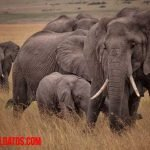 ¿Los elefantes nunca olvidan? El animal de prodigiosa memoria social