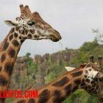 Porque las jirafas tienen el cuello largo, ¿fue por alcanzar hojas altas?