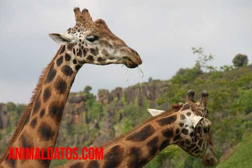 Porque las jirafas tienen el cuello largo