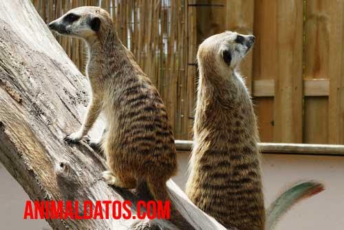 Porque las suricatas se paran en dos patas