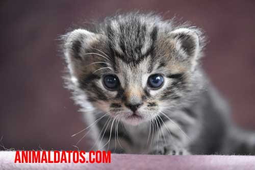 Porque los gatos hacen sonidos de bebé