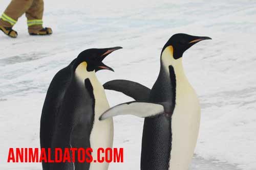 Porque los pingüinos están en peligro de extinción