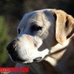 Porque mi perro tiene una oreja parada y la otra no, ¿debo corregir posición?