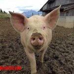 Que comen los cerdos de granja y lograr la mejor alimentación