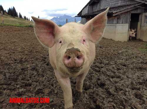 Que comen los cerdos de granja