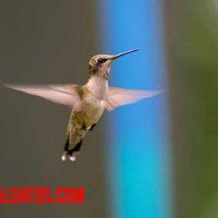 como alimentar a un colibrí