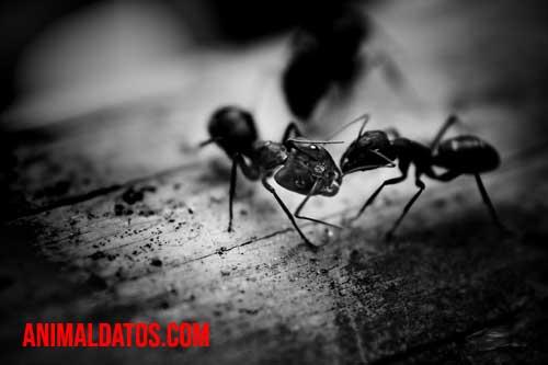 como eliminar plaga de hormigas