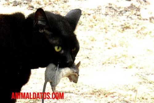 como reducir la caza a tu gato