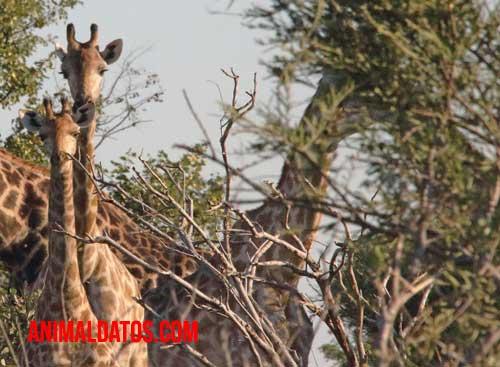 evolución de la jirafa según darwin