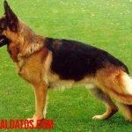 Los 5 mejores perros para running, grandes perros deportistas