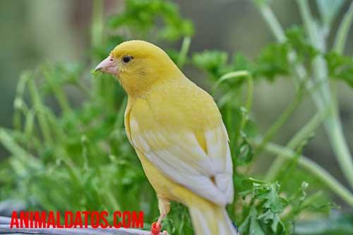 porque los canarios dejan de cantar