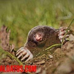 que comen los topos