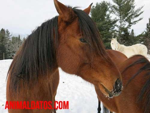 tos contagiosa del caballo