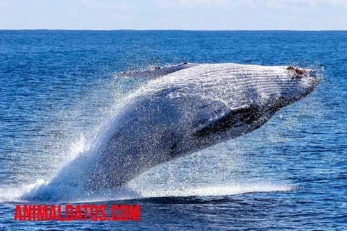Cómo se reproducen las ballenas