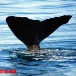 Como nacen las ballenas azules, grises y de otras características