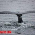 Porque la ballena no es un pez sino un mamífero