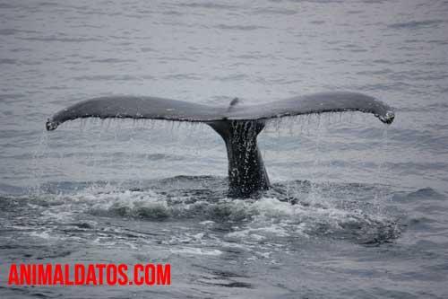 Porque la ballena no es un pez
