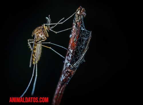 Porque las hembras de los mosquitos pican