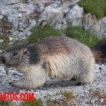 Porque las marmotas duermen mucho y origen del dicho dormir como marmota