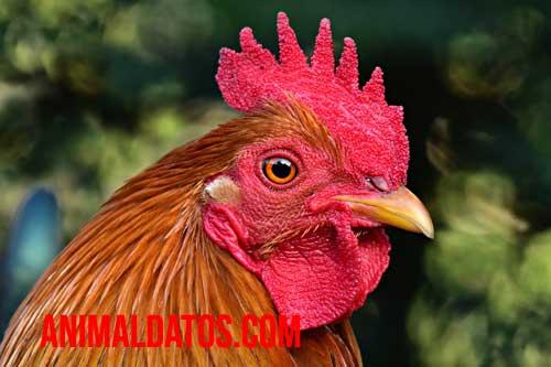 el pollo que comemos es gallo o gallina