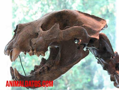 fosil del Panthera leo spelaea