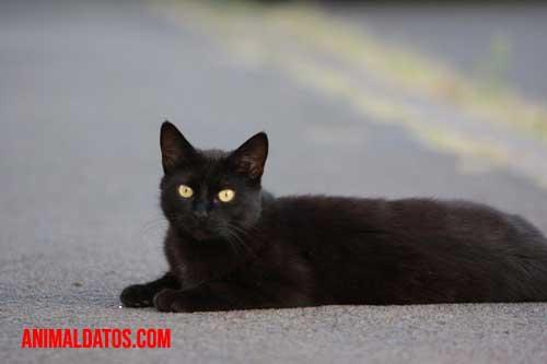 gato negro ser maligno