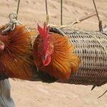 En que consiste la iniciativa End The Cage Age para prohibir la cría de animales en jaulas