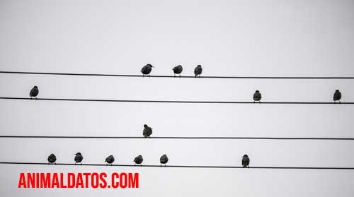 palomas paradas en cables