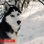 Los perros de trineo en Groenlandia se encuentran amenazados por el deshielo del ártico