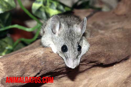 puedo tener un ratón de mascota