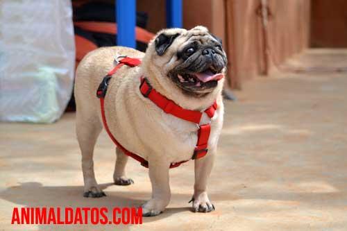 pug perro con deformaciones geneticas