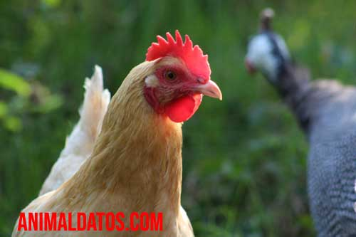 que diferencia un gallo de una gallina