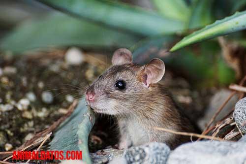 raton de la cocina como mascota