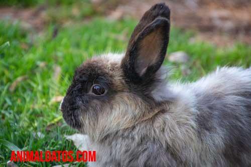 tiña de conejo