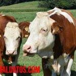 Porque las vacas son sagradas en la India, ¿son consideradas diosas?
