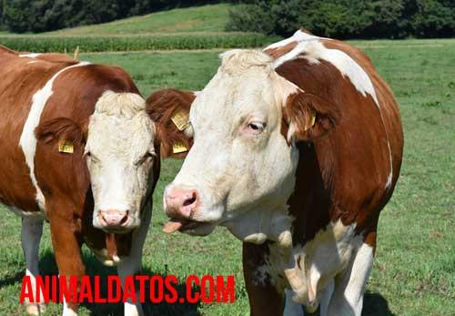 Porque las vacas son sagradas en la India