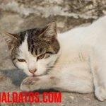 ¿Es verdad que los gatos tienen 7 vidas o porqué se dice eso?